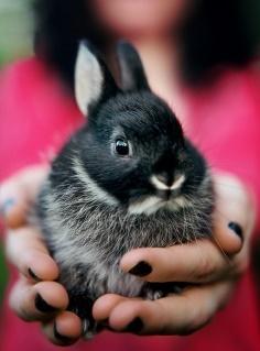 нидерландский карликовый кролик с сайта