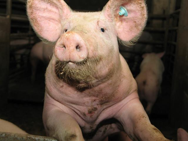 Фото свинок - символ 2019 года