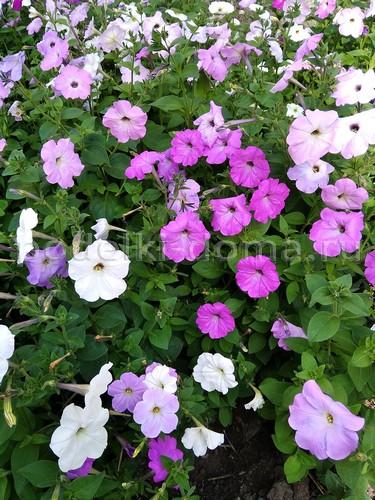 10 однолетников с длительным сроком цветения